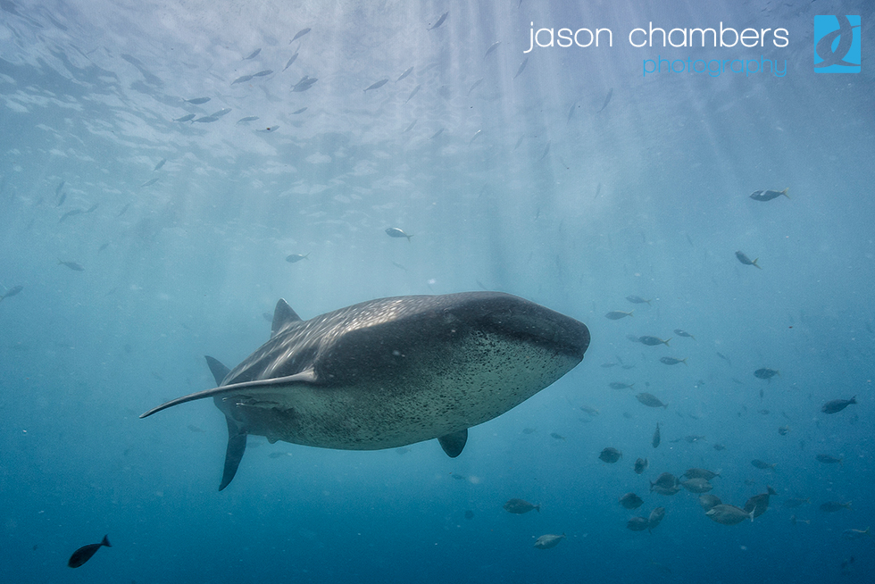 Whale Shark photography Philippines